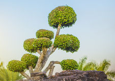 Annulata Ficus, δέντρο Banyan, MORACEAE Στοκ εικόνα με δικαίωμα ελεύθερης χρήσης