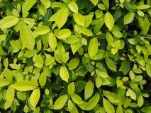 Annulata Ficus δέντρων Banyan Στοκ εικόνες με δικαίωμα ελεύθερης χρήσης