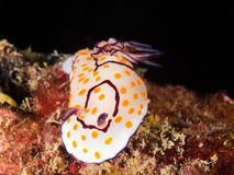 Annulata Nudibranch, γυμνοσάλιαγκας Chromodoris θάλασσας Στοκ εικόνα με δικαίωμα ελεύθερης χρήσης