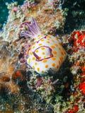 Annulata Nudibranch, γυμνοσάλιαγκας Chromodoris θάλασσας Στοκ Φωτογραφίες