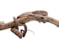 Annulated Boa auf weißem Hintergrund stockfoto