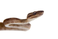 Annulated Boa on white background. Annulated Boa corallus annulatus isolated on white background stock image