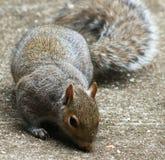 Annusate dello scoiattolo Immagini Stock