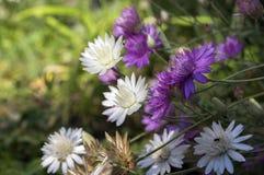 Annuum, ετήσια συνεχή λουλούδια immortelle Xeranthemum στην άνθιση Στοκ φωτογραφία με δικαίωμα ελεύθερης χρήσης