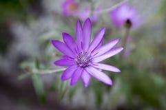 Annuum, ετήσια συνεχή λουλούδια immortelle Xeranthemum στην άνθιση Στοκ εικόνα με δικαίωμα ελεύθερης χρήσης