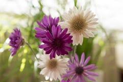 Annuum, ετήσια συνεχή λουλούδια immortelle Xeranthemum στην άνθιση Στοκ εικόνες με δικαίωμα ελεύθερης χρήσης