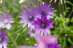 Annuum, ετήσια συνεχή λουλούδια immortelle Xeranthemum στην άνθιση Στοκ Εικόνα