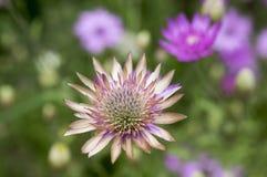 Annuum, ετήσια συνεχή λουλούδια immortelle Xeranthemum στην άνθιση Στοκ Εικόνες