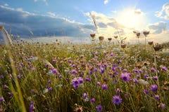 Annuum λουλούδια Xeranthemum στον τομέα Στοκ φωτογραφία με δικαίωμα ελεύθερης χρήσης