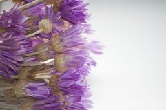 Annuum λουλούδι Xeranthemum Στοκ φωτογραφία με δικαίωμα ελεύθερης χρήσης
