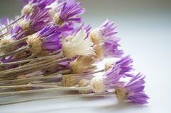 Annuum λουλούδι Xeranthemum Στοκ Εικόνα