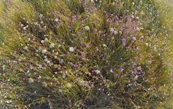 Annuum λουλούδια Xeranthemum Στοκ φωτογραφία με δικαίωμα ελεύθερης χρήσης