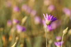 Annuum λουλούδι Xeranthemum Στοκ εικόνα με δικαίωμα ελεύθερης χρήσης