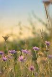 Annuum λουλούδι Xeranthemum Στοκ φωτογραφίες με δικαίωμα ελεύθερης χρήσης