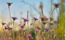 Annuum λουλούδι Xeranthemum Στοκ Φωτογραφία