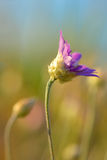 Annuum λουλούδι Xeranthemum Στοκ Εικόνες