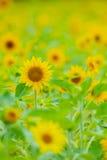 Annuus ηλίανθος-Helianthus Στοκ φωτογραφία με δικαίωμα ελεύθερης χρήσης