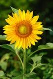annuus helianthus pojedynczy słonecznik Obraz Royalty Free
