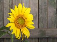 annuus helianthus słonecznik Fotografia Royalty Free