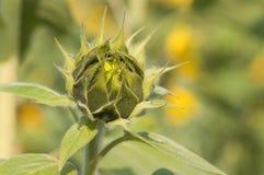 annuushelianthussolros Royaltyfri Bild