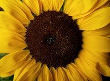 annuushelianthussolros Royaltyfri Foto