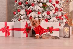 Ano novo do yorkshire terrier fotos de stock royalty free