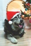 Ano novo feliz de Huskie fotografia de stock royalty free
