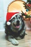 Ano novo feliz de Huskie imagens de stock royalty free