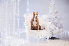 Ano novo feliz, Natal, animal de estimação na sala Cão do pitbull que encontra-se na cadeira Fotografia de Stock Royalty Free