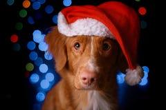 Ano novo feliz, Natal, cão no chapéu de Santa Claus foto de stock