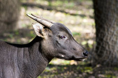 anoa水牛属depressicornis低地 免版税库存图片