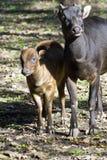 anoa水牛属depressicornis低地 库存图片