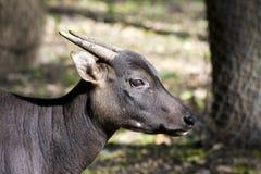 anoa bubalus depressicornis niżowi Obraz Royalty Free