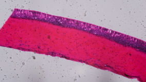 Anodonta gills ciliated epithelium under the microscope - Abstra. Ct pink and purple color on white background stock video