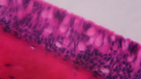 Anodonta gills ciliated epithelium under the microscope - Abstra. Ct pink and purple color on white background stock footage