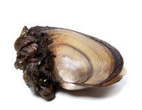 Anodonta (rzeczni mussels) przerastający z małymi mussels obraz royalty free