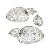 Anoectochilus calcareus用手画兰花的叶子 在白色的兰花叶子 免版税库存图片