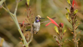 The Anointed One. A Hummingbird posing with lots of pollen on its head Stock Photography