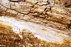 Anold rotten tree trunk Royalty Free Stock Photo