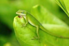 anole卡罗来纳州蜥蜴 免版税图库摄影