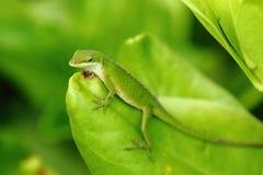 anole卡罗来纳州蜥蜴 免版税库存图片