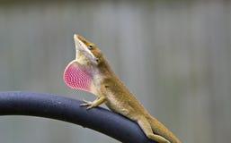 anole蜥蜴 库存图片