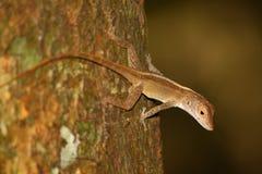 Anole蜥蜴维尔京群岛森林 免版税图库摄影