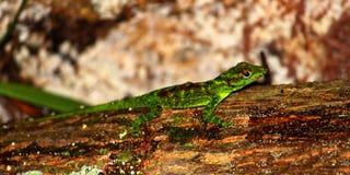 Anole蜥蜴波多黎各 免版税库存图片