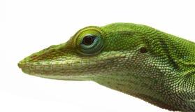 anole蜥蜴 免版税库存照片