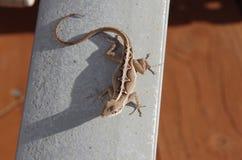 Anole ödla, gecko Fotografering för Bildbyråer