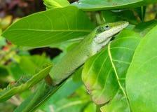 anole вызвало хамелеона зеленой ящерицей Стоковые Изображения RF