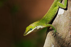 Anole Stock Photography