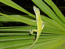 Anole Royalty Free Stock Photo