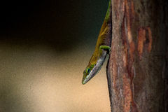 Anole Photographie stock